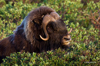 NMMO00708 - Musk Ox