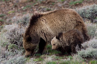 GRZ00752-Grizzly-Bear
