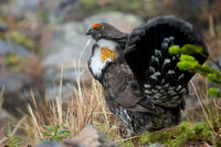 SYGR00011-Sooty-Grouse