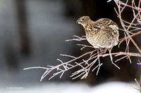 RFGR00008 - Ruffed Grouse