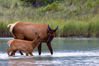 Cow Elk with Calf - RMEK00341