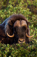 NMMO00692 - Musk Ox