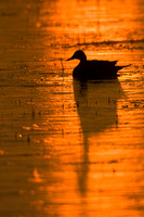 Pintail Duck Silhouette - PT00382