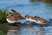 SP00048 Semipalmated Plover
