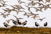 Black-bellied Plovers, Spring Migration - BBP00288