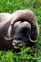 Musk Ox - NMMO00173