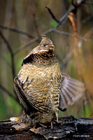 RFGR020824 Ruffed Grouse