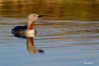 NMRL00893 - Red-throated Loon