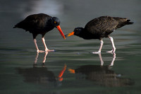 BKOC347739 Black Oyster Catchers