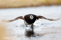 NMLD00489 Long-tailed Duck