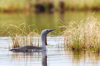 Red-throated Loon - NMRL00206