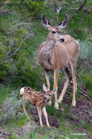 Mule Deer Doe with Fawn - MEDR00490