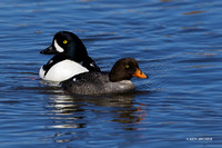 Barrow's Goldeneye Duck Pair - BGED00274