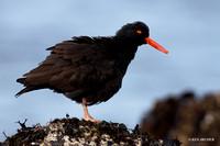 BKOC00015 Black Oyster Catcher