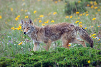Coyote, late-spring - CE00018