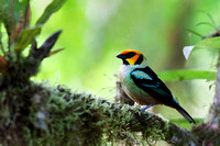 ECBD00244 Flame-faced Tanager