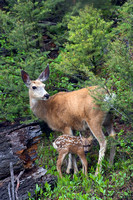 Mule-Deer Doe and Fawn - MEDR00319