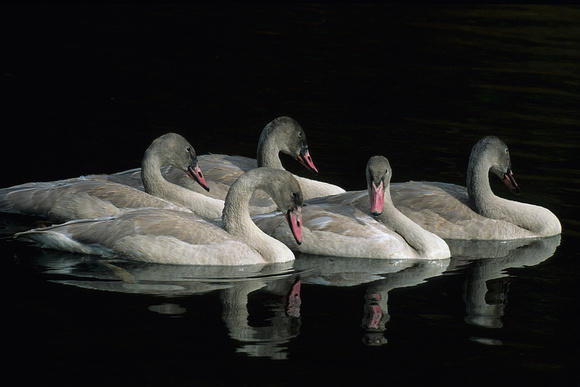 Trumpeter Swan Cygnets - TRSW862054