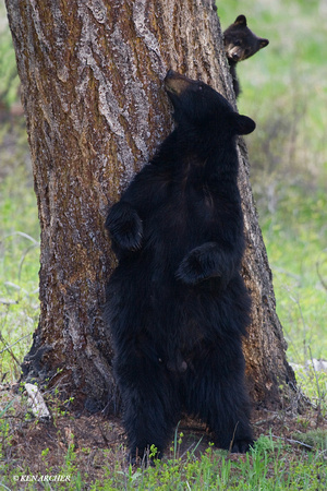 Black Bear Cub Peeking- BBCB00120