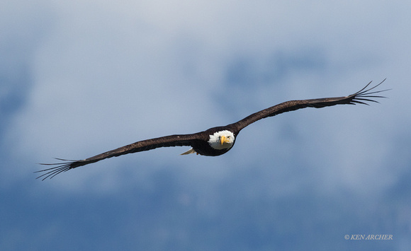 BE07149 - Bald Eagle