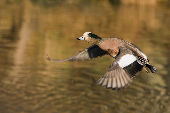 American Widgeon Duck - WNFL00444