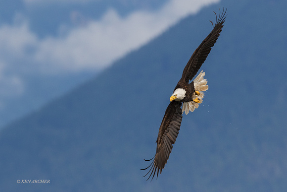 BE09198 - Bald Eagle