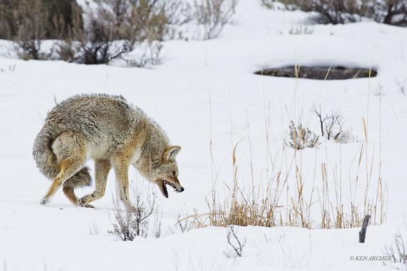 ken archer coyote coyote snarling cewr00232. Black Bedroom Furniture Sets. Home Design Ideas