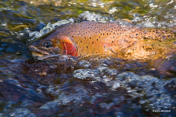 Cutthroat Trout - CTSG00006