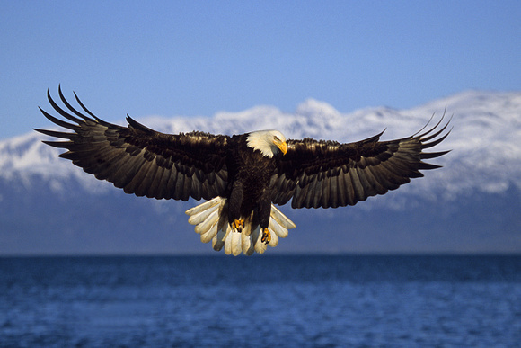 Bald Eagle,preparing to strike - BE020478