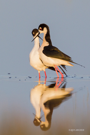 BNST01269 - Black-necked Stilt