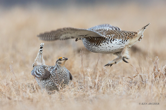 STGR00742 - Sharp-tailed Grouse