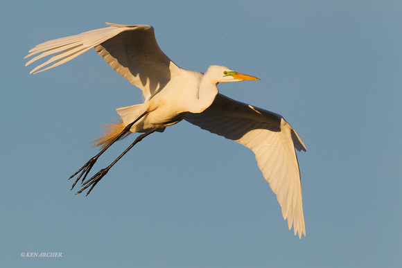 Great Egret - ARSB00061