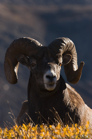 BHRM00386-Rocky-Mountain-Bighorn-Sheep