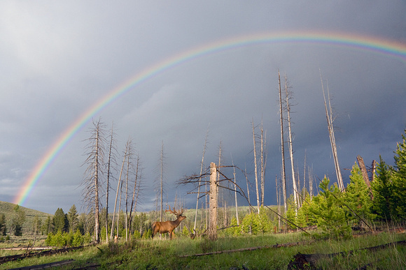 Bull Elk and Rainbow