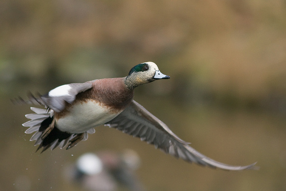 Widgeon Drake - WNFL00523