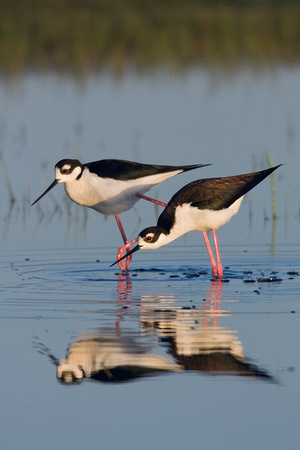 BNST00452-Black-necked-Stilt