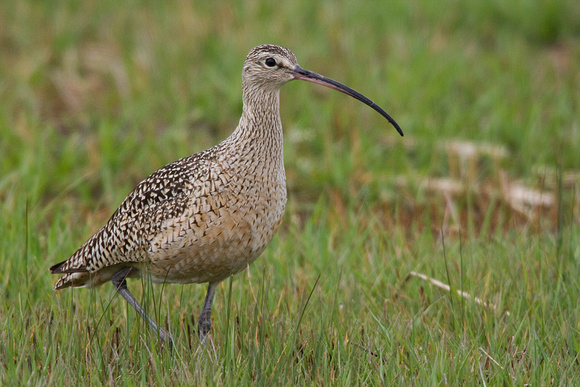 CRLW00179-Curlew