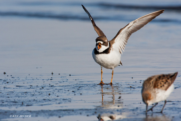 SP00116 Semipalmated Plover