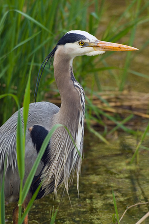 GBHN00128-Great-Blue-Heron