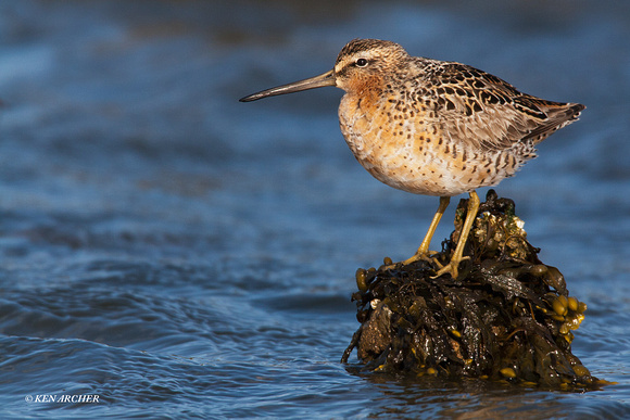 LD00044 Long-billed Dowitcher