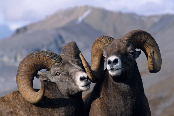Rocky Mountain Bighorn Sheep Rams - RMBS471283