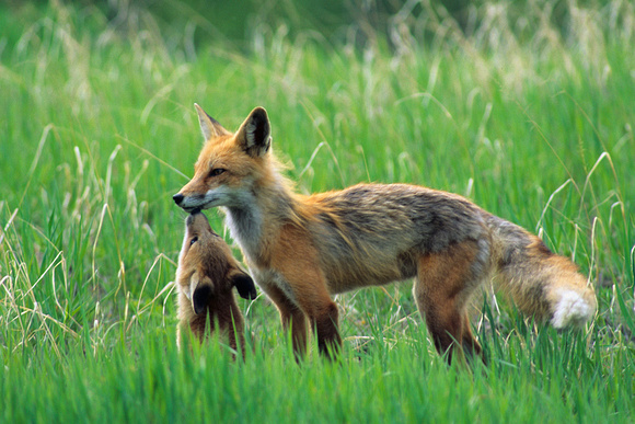 Red Fox Vixen with Kit - RDFX435185