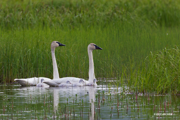 SDTS00154 - Trumpeter Swan