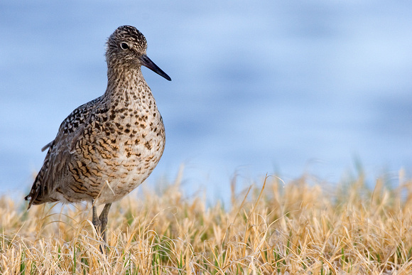 WLT00026-Willet