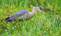 Whistling Heron - ARSB01080