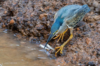BZSH00062 - Striated Heron