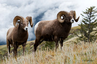 BHRM00116 - Rocky Mountain Bighorn Sheep