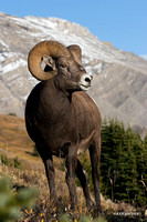 BHRM00400  -Rocky Mountain Bighorn Sheep