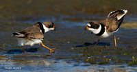 SP00092 Semipalmated Plover