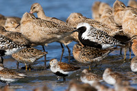 SBV00930 - Spring Shorebird Migration